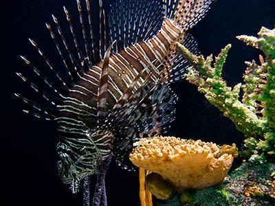 aquarium_lionfish.jpg