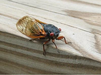 cicada_gs.jpg