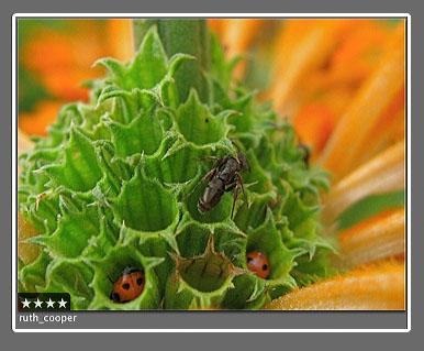 ruth_cooper_ladybugs.jpg