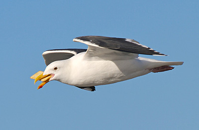 gull_cracker.jpg