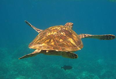 maui_sea_turtle.jpg