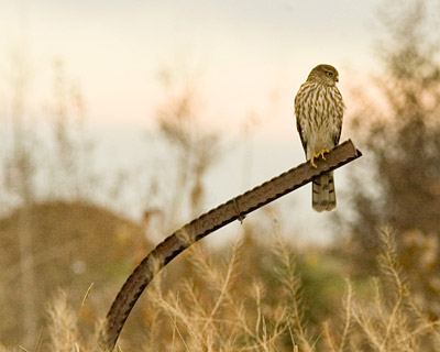 northern-harrier.jpg