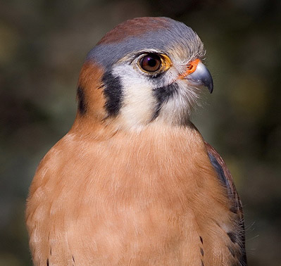 scott_bourne_kestrel.jpg