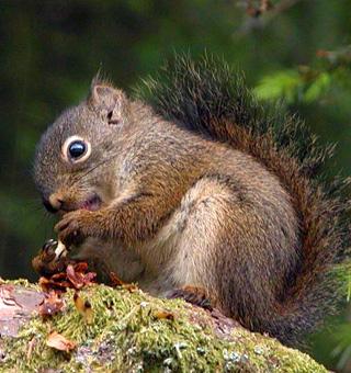 Sitka Squirrel
