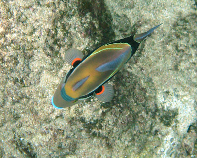 triggerfish.jpg