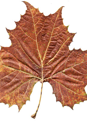 leaf_scan2_web.jpg